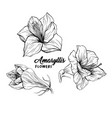 amaryllis flower hand drawn vector image