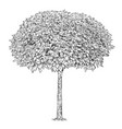 black and white drawing of catalpa tree vector image vector image