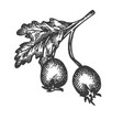 rose hip hand drawn sketch dog-rose vector image