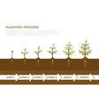 infographic of plant growth stages tree vector image