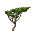 Acacia tree isolated vector image vector image