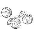 sketch gooseberry vector image vector image