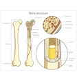 Bone structure medical educational vector image vector image