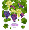 grapes bunch isolated on white growing vector image