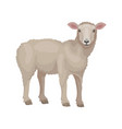 detailed flat design of young lamb side vector image
