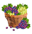 grapes bunch watercolor basket vector image