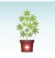 medical marijuana or cannabis in pot green herbs vector image