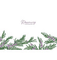 horizontal herbal backdrop decorated with rosemary vector image vector image