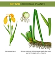 Medical iris pseudacorus or yellow and water flag vector image vector image