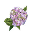 realistic pinky green hydrangea flower with leaves vector image vector image