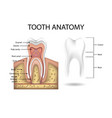 human tooth anatomy template realistic white vector image