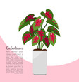 caladium indoor plant in pot banner vector image vector image