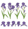 set color with purple iris flower vector image vector image