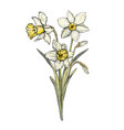 narcissus bouquet vector image vector image