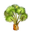 palm leaf tree texas palmetto color vector image vector image