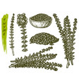 sketch thyme herbs and spices seasoning plant vector image vector image