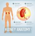 kidneys infographics banner vector image vector image