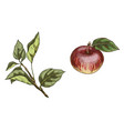 red apple and branch with leaves isolated on vector image