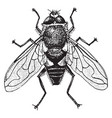 rat tailed fly vintage vector image vector image