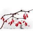 eglantine branch winter realistic vector image