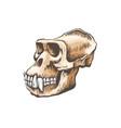 gorilla monkey skull vector image vector image