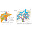liver circulatory system vector image