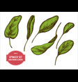 collection of hand drawn colored spinach vector image vector image