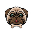 funny pug dog with bone vector image