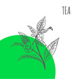 tea sketch botanical herb plant vector image