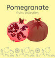 pomegranate image vector image vector image