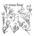 set crocus spring flowers black and white vector image vector image