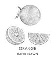 Sketch of the whole orange half and segment Hand vector image vector image