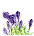 hand drawn watercolor crocuses vector image