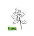 thyme hand drawn vector image vector image