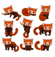 chinese red panda set cute fluffy wild animals in vector image