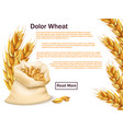 realistic wheat grains and ears isolated on white vector image vector image