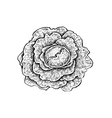 Black and white hand drawn sketch of a cabbage vector image