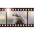 Photo film with hawk predatory bird vector image