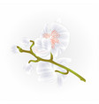 beautiful orchid phalaenopsis stem white vector image vector image