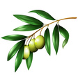 Green olives on the branch vector image vector image