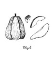 hand drawn of chayote fruit on white background vector image vector image