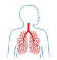 lungs and bronchi human respiratory system vector image