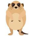 meerkat with round body vector image