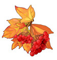 autumn maple leaves and sprig red berries vector image