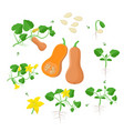 cucurbita moschataplant growth stages infographic vector image vector image