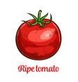 tomato vegetable sketch of organic natural veggies vector image vector image