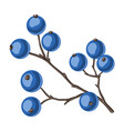 branch with berries vector image