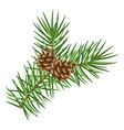 spruce branch with cones vector image