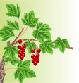 Twig garden currant bushes with red berries vector image vector image