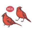 collection of hand drawn colored cardinal vector image